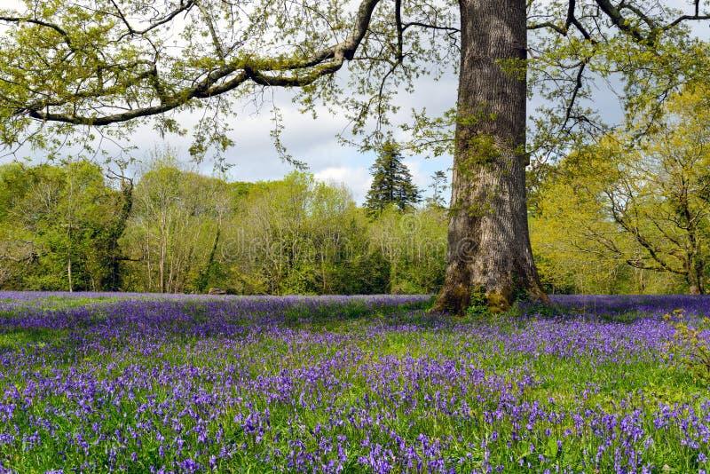 会开蓝色钟形花的草沼地 库存照片