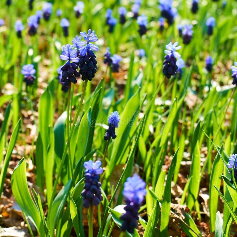 会开蓝色钟形花的草的领域 库存照片