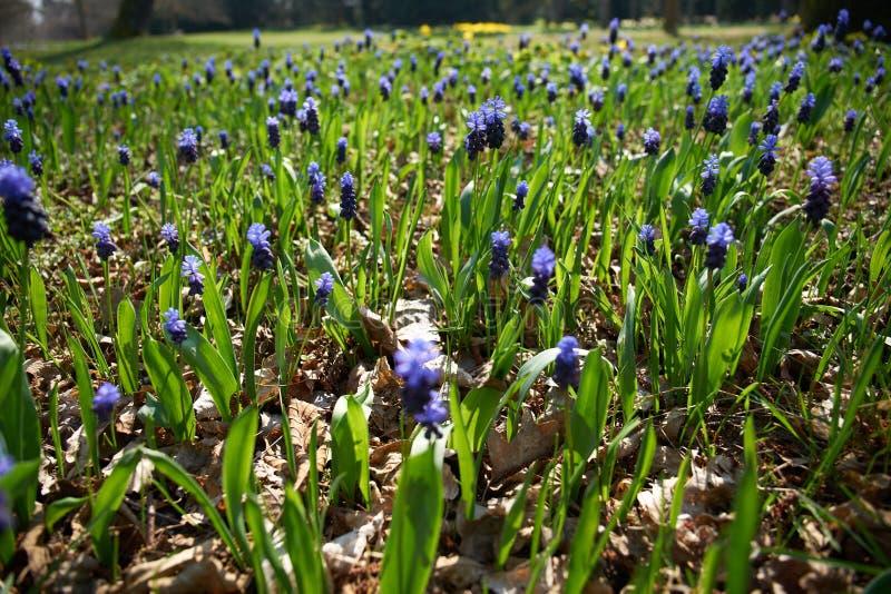 会开蓝色钟形花的草的领域 免版税库存照片