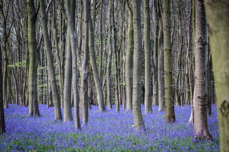 会开蓝色钟形花的草的领域 图库摄影