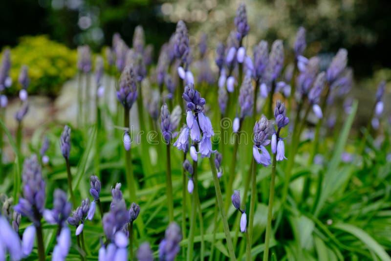 会开蓝色钟形花的草花春天 图库摄影