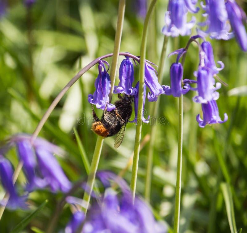 从会开蓝色钟形花的草花的蜜蜂饲养 库存图片
