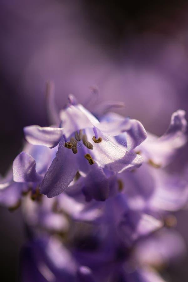 会开蓝色钟形花的草花 库存照片