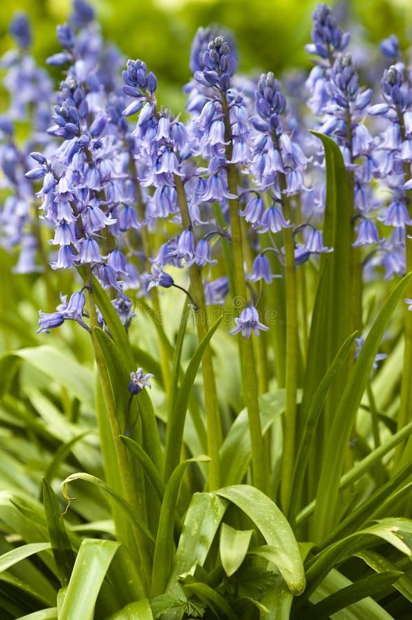 会开蓝色钟形花的草英国当地人 库存图片