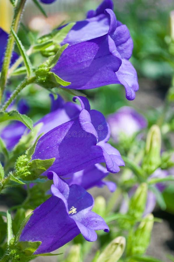 会开蓝色钟形花的草 图库摄影