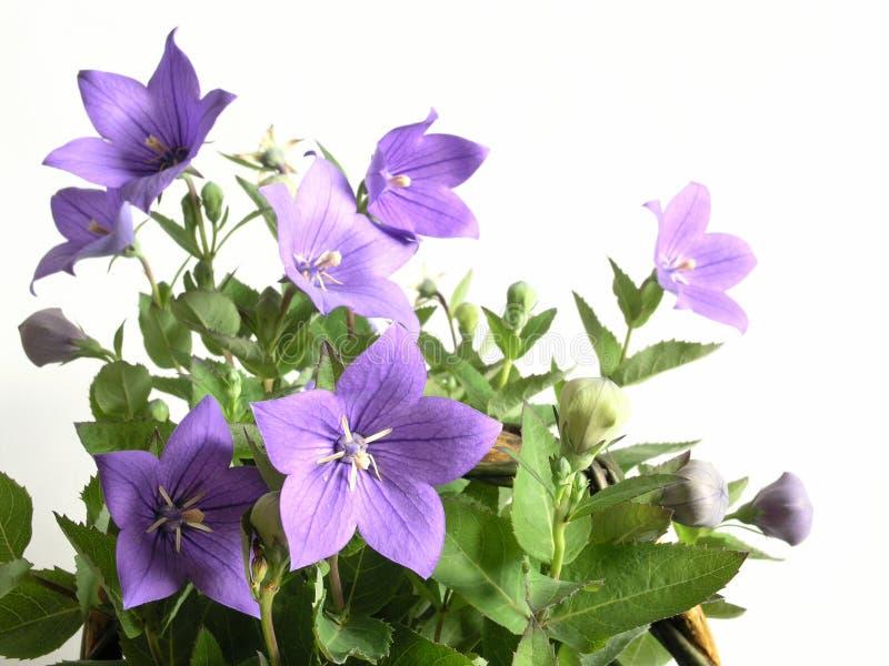 会开蓝色钟形花的草 免版税库存图片