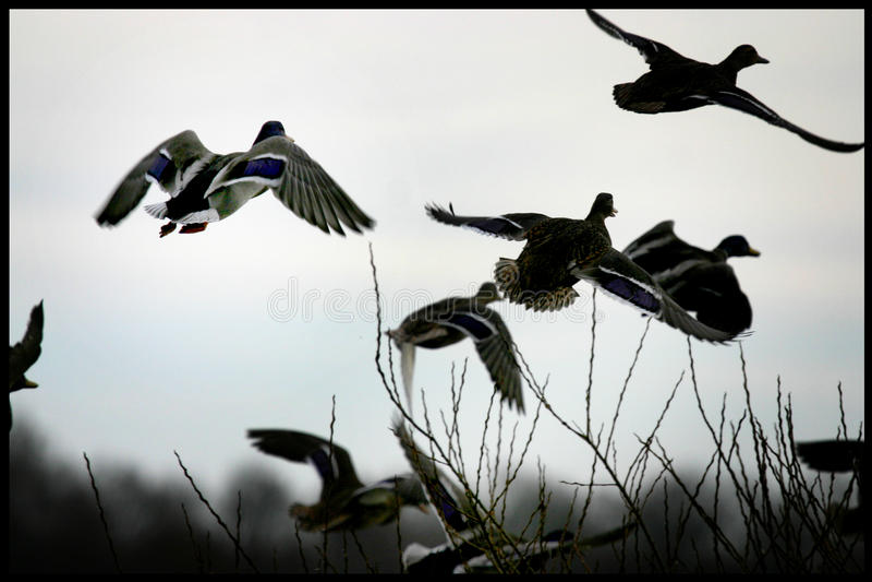 会集在一个湖的鸭子在日德兰,丹麦 图库摄影