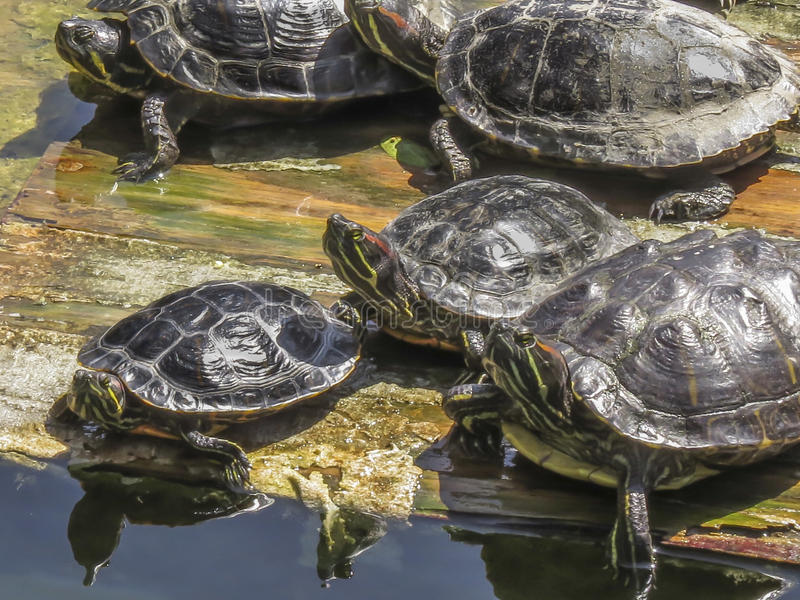 会集在埃尔多拉多东部地方公园的乌龟 库存照片