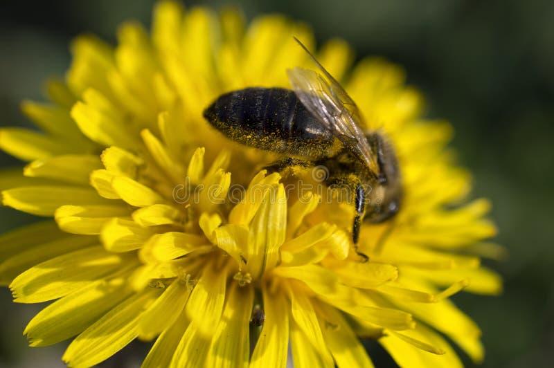 会集在黄色蒲公英flo的蜂蜜蜂花粉 免版税库存图片