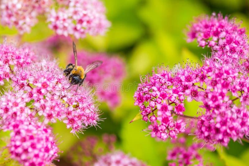 会集在Spirea Japonica的蜂花粉 特写镜头宏指令 库存图片
