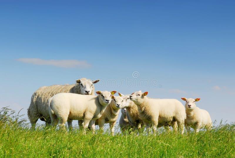 会集绵羊的系列 库存照片