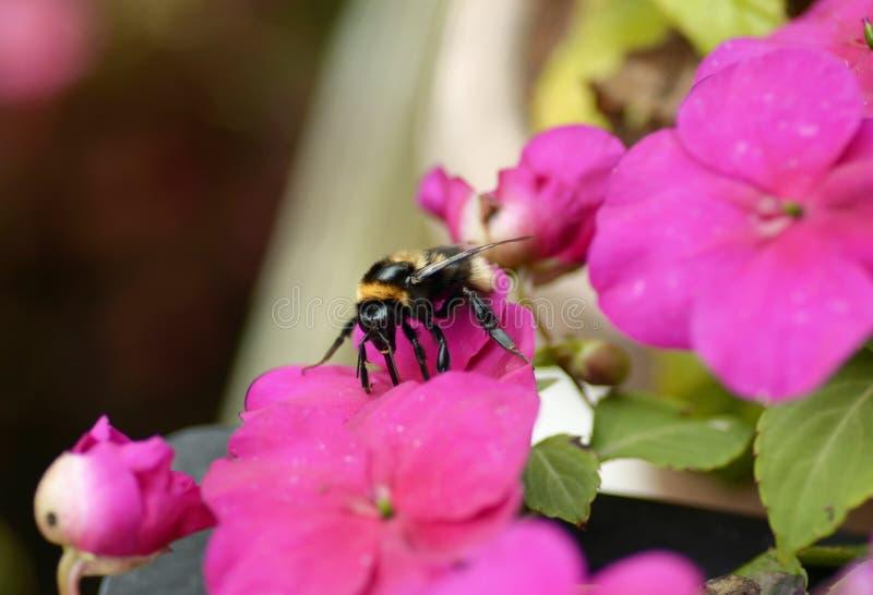 会集花蜜的宏观特写镜头土蜂 免版税库存照片