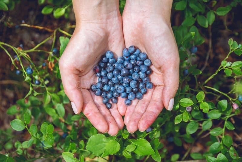 会集蓝莓在森林里 库存图片