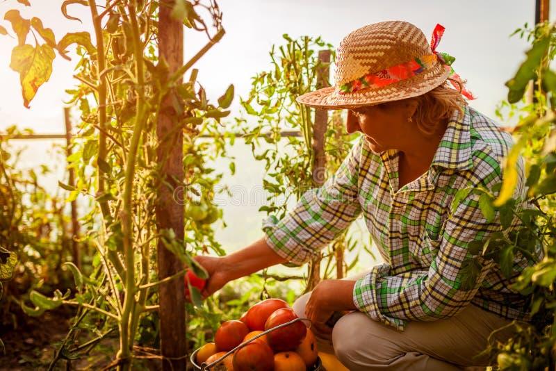 会集蕃茄的庄稼资深妇女农夫在农场的温室 种田,从事园艺的概念 免版税库存图片