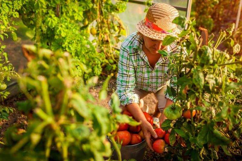 会集蕃茄的庄稼资深妇女农夫在农场的温室 种田,从事园艺的概念 库存图片