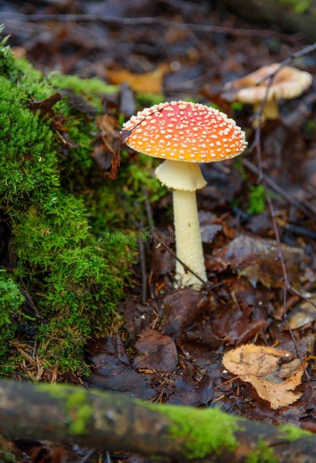 Download 伞形毒蕈秋天危险muscaria蘑菇 红色毒蘑菇 库存图片. 图片 包括有 西伯利亚, 夏天, 绿色, 叶子 - 72363955