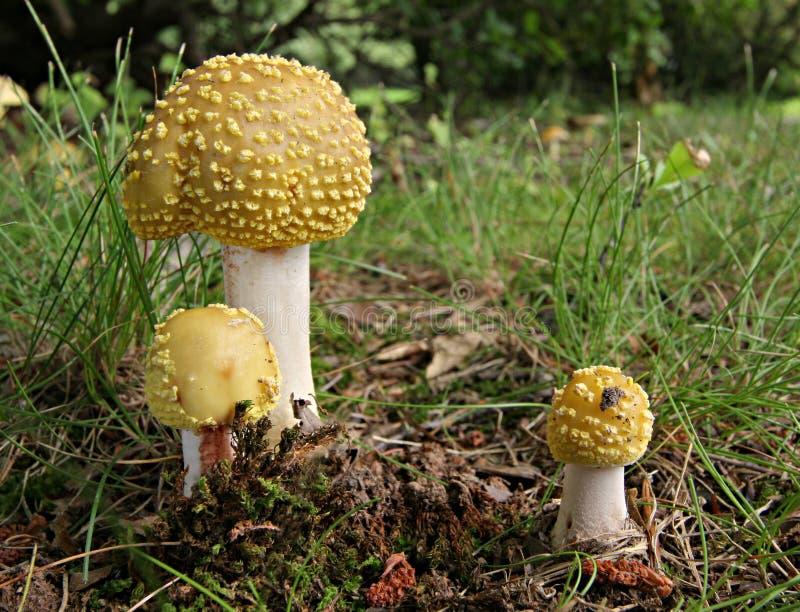 伞形毒蕈组蘑菇 库存图片