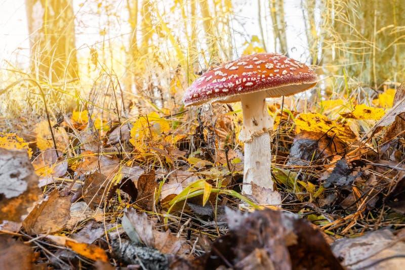 伞形毒蕈muscaria是一美丽的蘑菇,但是非常毒的 在秋天森林里增长首先结霜冻蛤蟆菌 库存图片