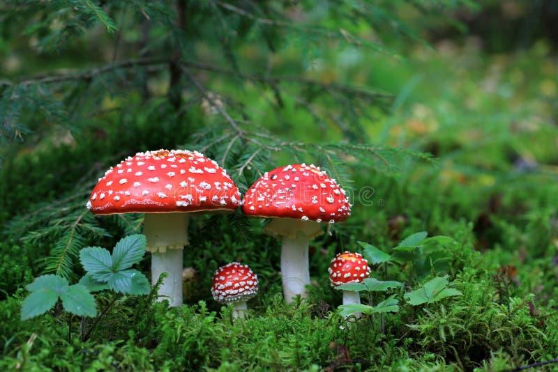 伞形毒蕈Muscaria蘑菇 库存图片