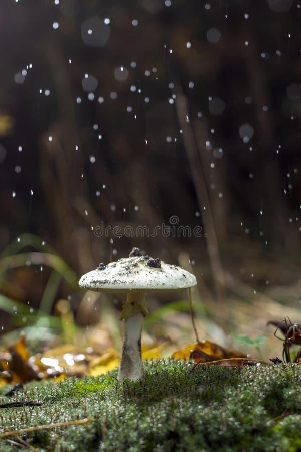 伞形毒蕈Phalloides真菌,狂放的山关闭的毒主题在一下雨天 库存照片