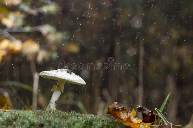伞形毒蕈Phalloides真菌,狂放的山关闭的毒主题在一下雨天 库存图片