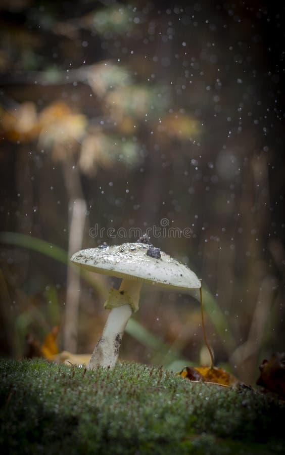 伞形毒蕈Phalloides真菌,狂放的山关闭的毒主题在一下雨天 免版税库存照片