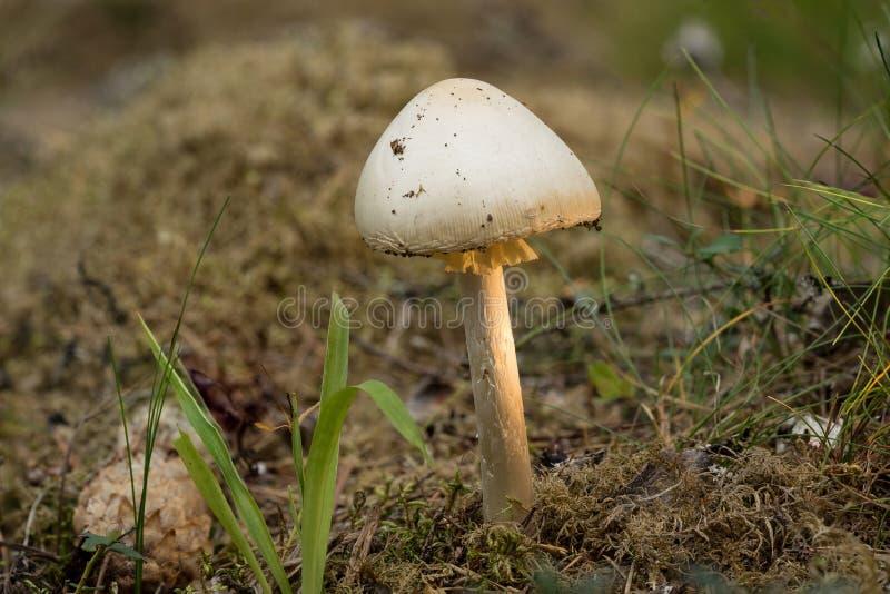伞形毒蕈virosa 毁坏的天使是致命的毒担子菌真菌 白色蘑菇,自然环境背景 免版税图库摄影