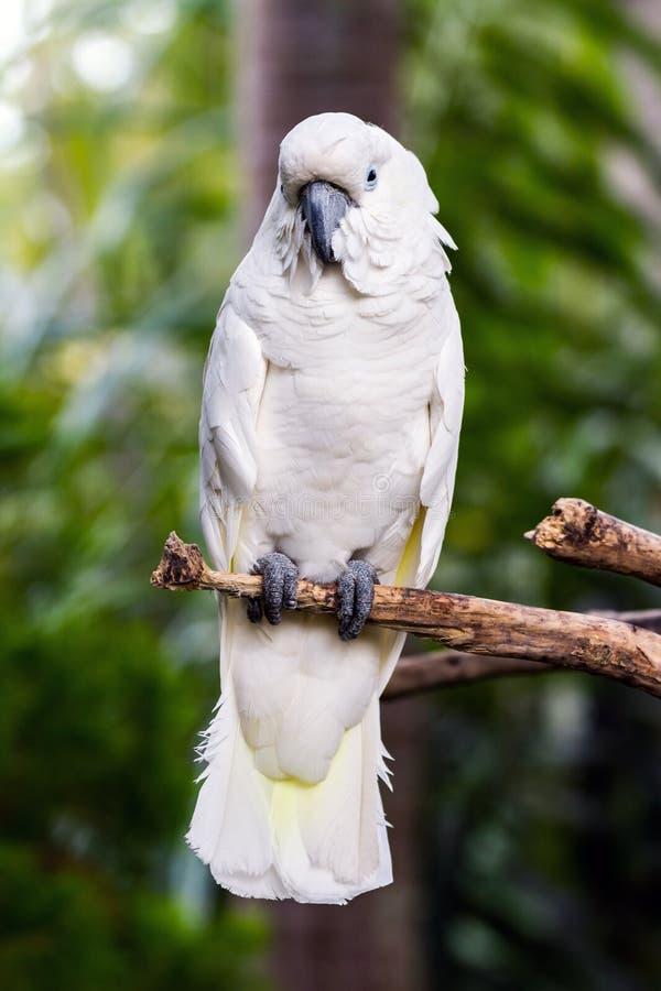 伞美冠鹦鹉(晨曲的Cacatua)在本质 免版税库存照片