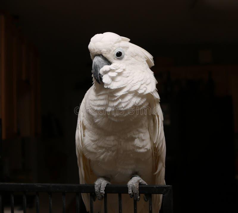 伞美冠鹦鹉 库存照片
