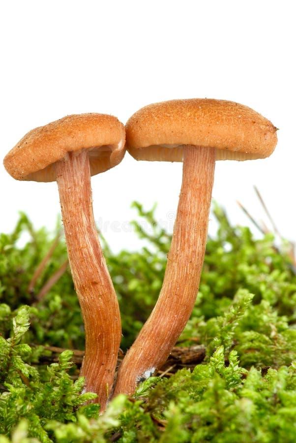 伞菌绿色青苔毒二 免版税库存图片