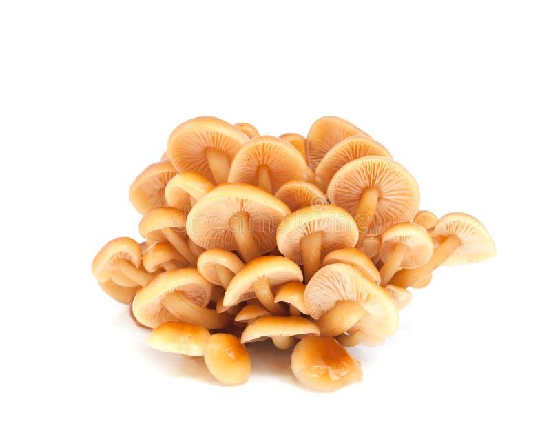伞菌蜂蜜蘑菇 图库摄影
