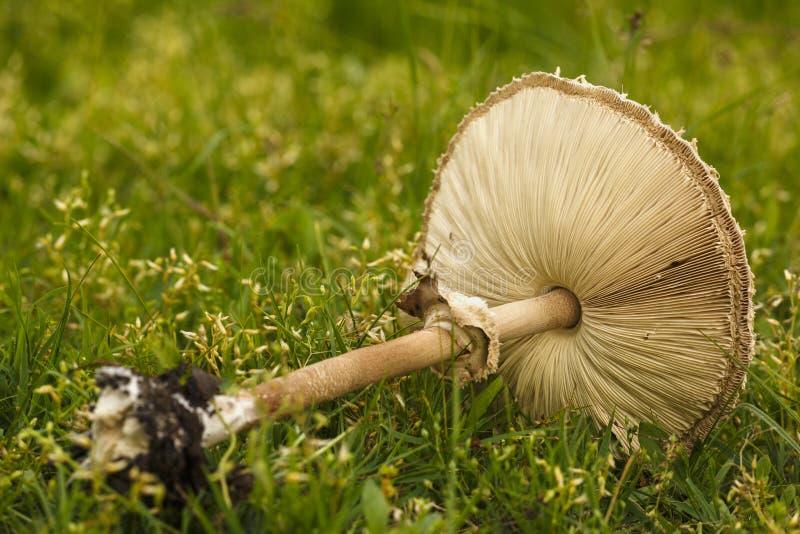 伞菌以草绿色 蘑菇照片,伞形毒蕈蘑菇, 免版税库存照片