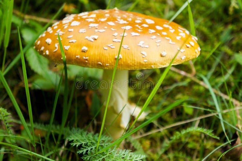 伞菌 库存图片