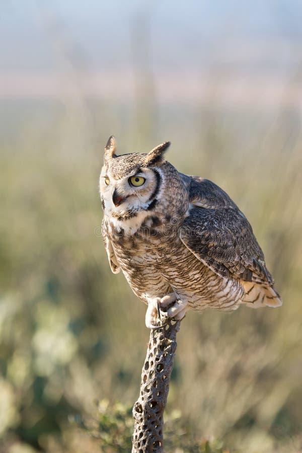 伟大有角的猫头鹰坐仙人掌 免版税图库摄影