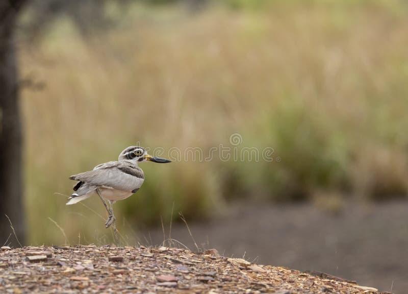 伟大的厚实的膝盖被看见在Ranthambhore国立公园 免版税库存照片