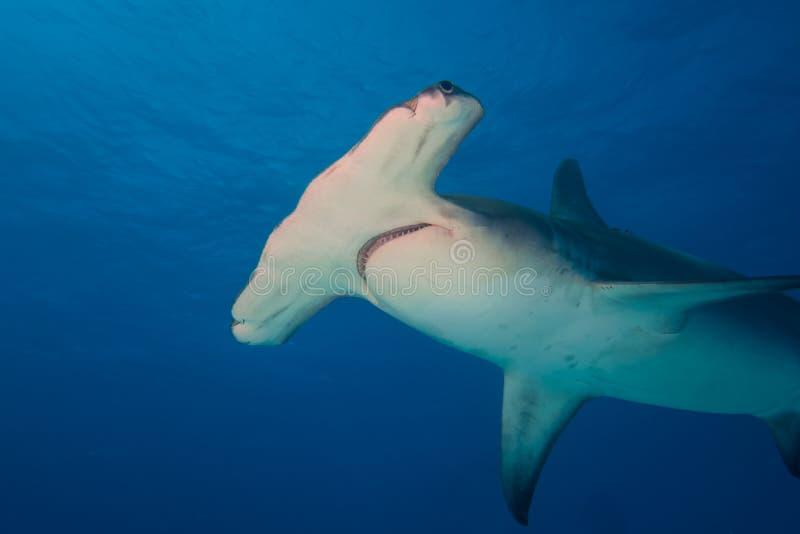 伟大的双髻鲨巴哈马Bimini 免版税图库摄影