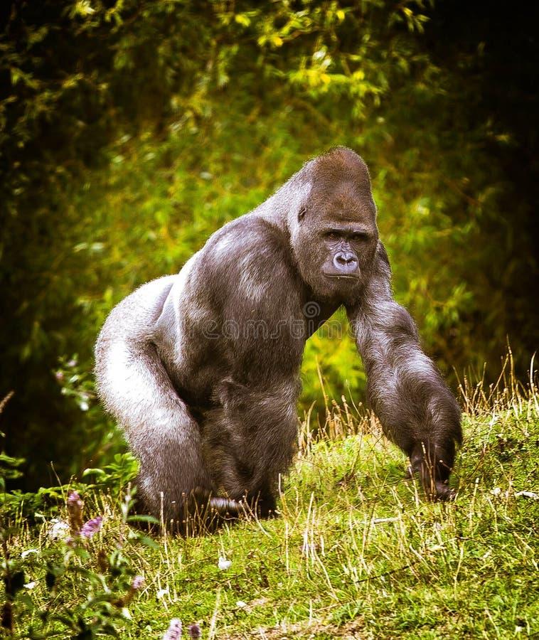 伟大的大猩猩 免版税库存照片