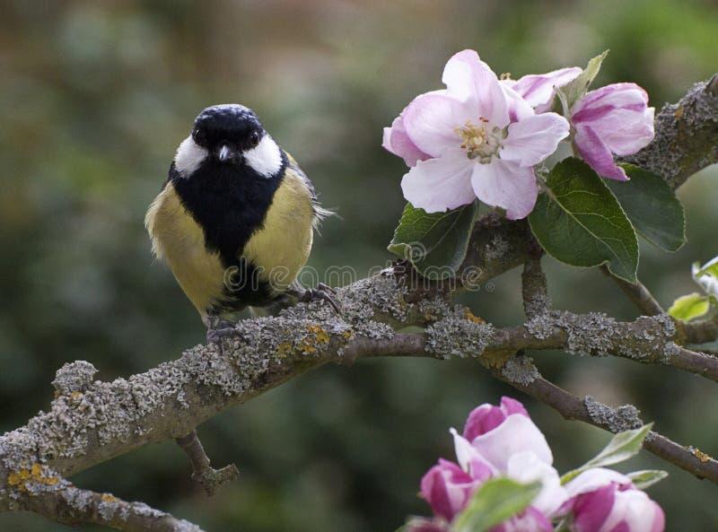 伟大的山雀在开花的苹果树栖息 库存照片