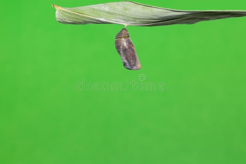 伟大的布朗蛹 免版税库存图片