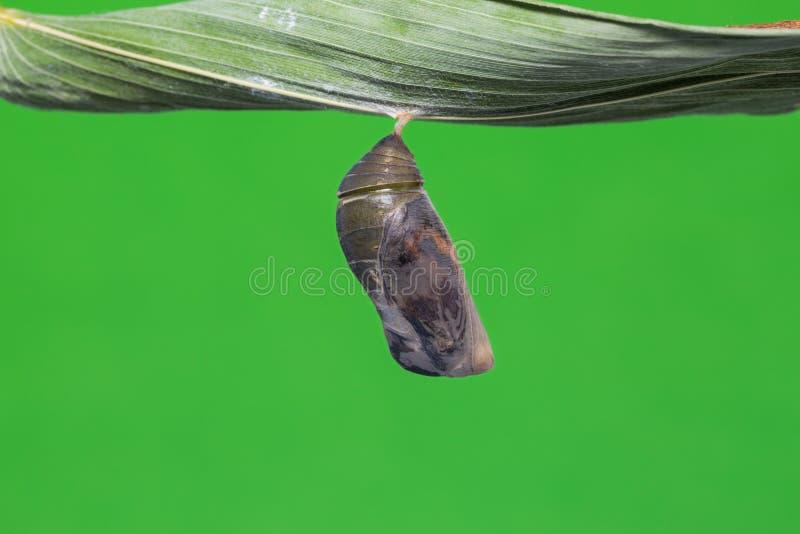 伟大的布朗蛹 免版税库存照片