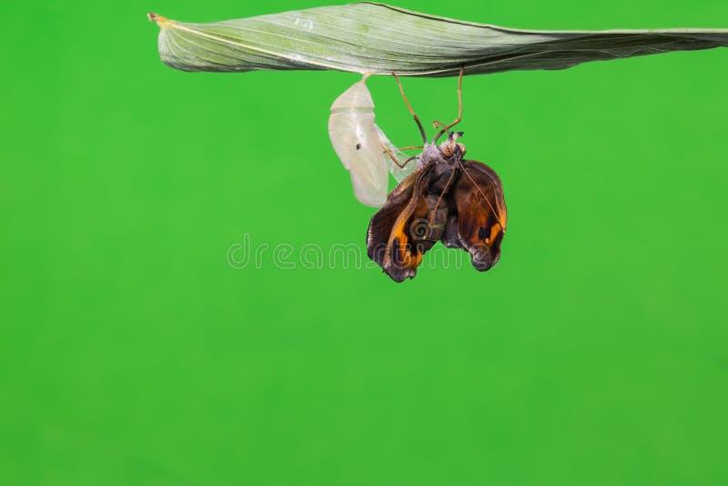 伟大的布朗蝴蝶 免版税库存照片
