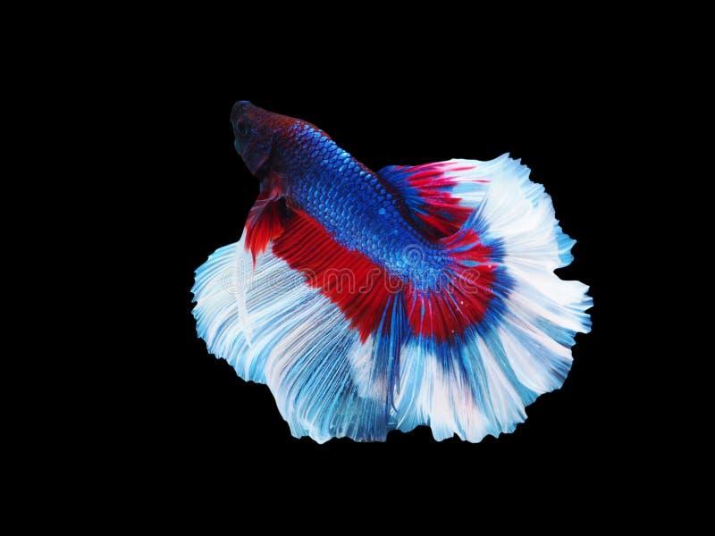 伟大的暹罗战斗的鱼,红白的龙betta是很凉快的 半月plakad,泰国样式 免版税库存图片