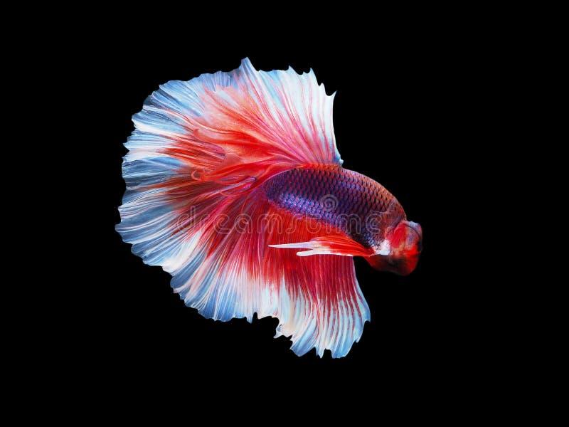 伟大的暹罗战斗的鱼,红白的龙betta是很凉快的 半月plakad,泰国样式 免版税库存照片