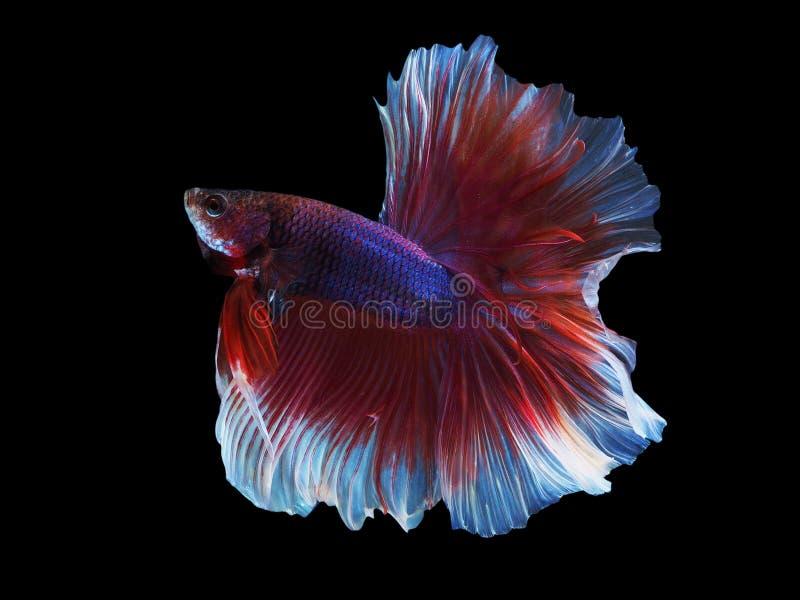 伟大的暹罗战斗的鱼spred它的beautyful尾巴 免版税库存照片