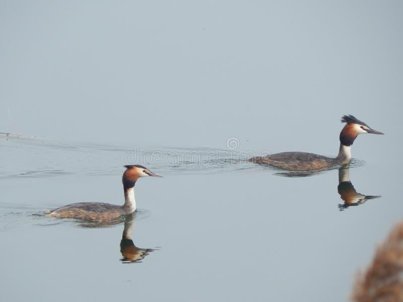 伟大的有顶饰格里布在Tsna湖白俄罗斯 库存照片