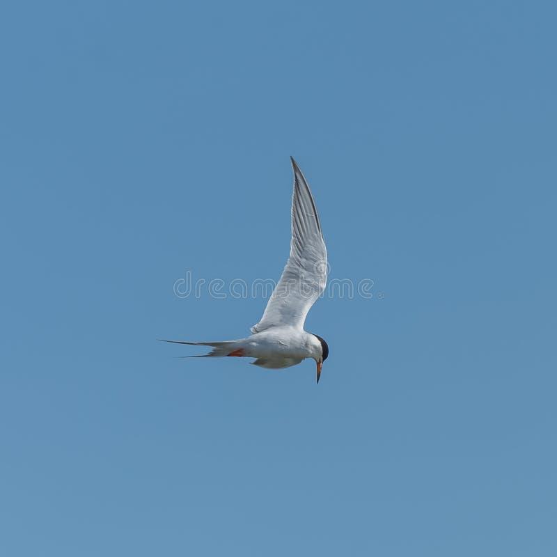 伟大的有顶饰燕鸥,海鸟 免版税图库摄影