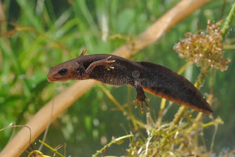 伟大的有顶饰蝾螈Triturus cristatus游泳在水中 绿色背景和水厂 免版税库存照片