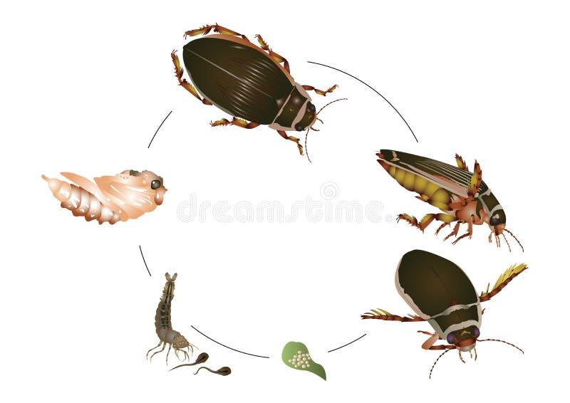 伟大的潜水甲虫的生命周期 皇族释放例证