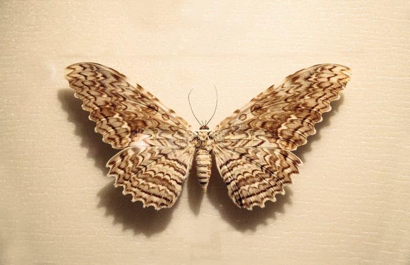 伟大的猫头鹰之子飞蛾Thysania agrippina 免版税图库摄影