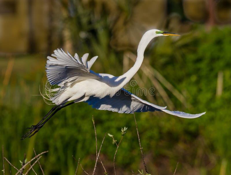 伟大的白色白鹭在飞行中在黎明在Florda 免版税库存图片